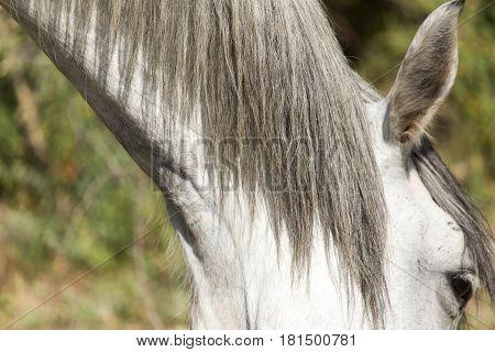 mane of a white horse . A photo