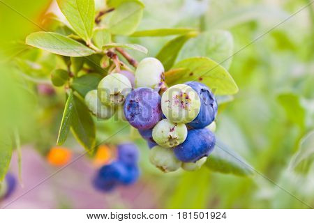 Green Bush Of Blueberries