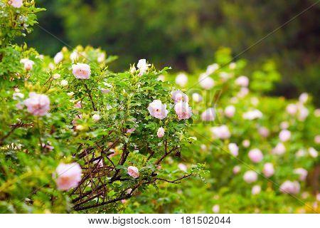 Barbed Hedge
