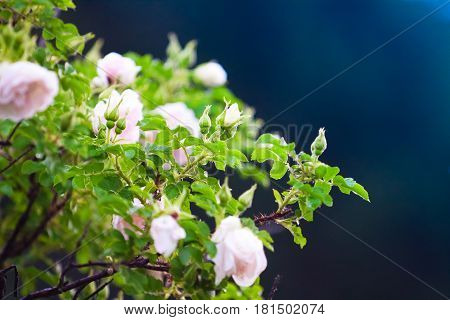 Pink Flowers Of Climbing Roses