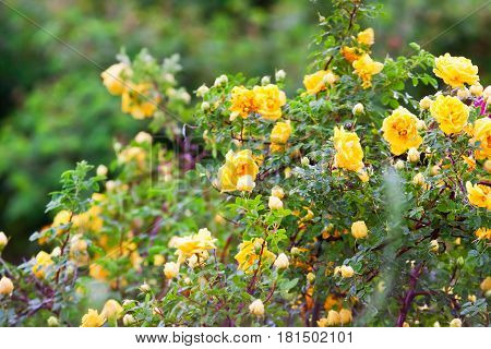 Yellow Clinging Roses, A Lush Bloom
