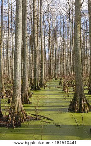 Cypress Swamp in the Sun at Heron Pond in Southern Illinois