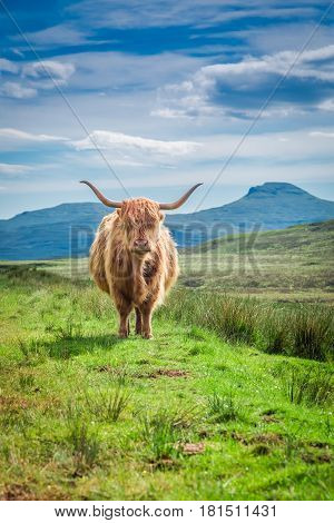 Furry Highland Cow In Isle Of Skye In Scotland