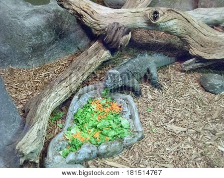 Fresh cut vegetable and leaves salad for Rhinoceros Iguana