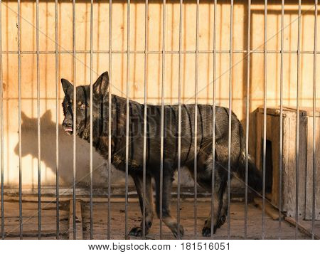 German Shepherd Dog Black In Colour Looking Sad The Sight Of The Cage.