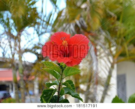 Pink hibiscus flower opens its charm for tourists, pleases every person with the beauty of the petals