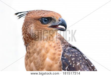 Portrait Of The Face Of The Crested Goshawk