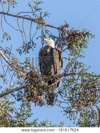 American Bald Eagle (Haliaeetus leucocephalus) perched on a pine tree. Milpitas, Santa Clara County, California, USA.