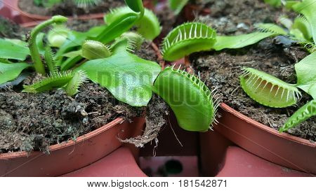 Carnivorous Plants in pots Venus fly trap