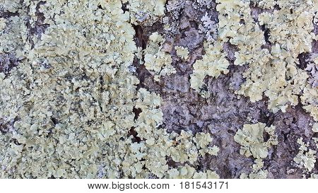Lichen growing on the tree abstract texture