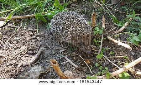 Young hedgehog in nature. Hedgehog in spring