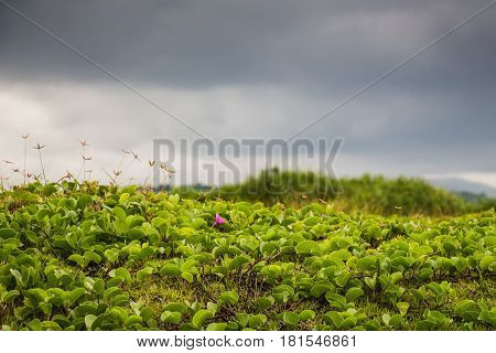 View of tropical green shrubbery with thick dark clouds before a storm.