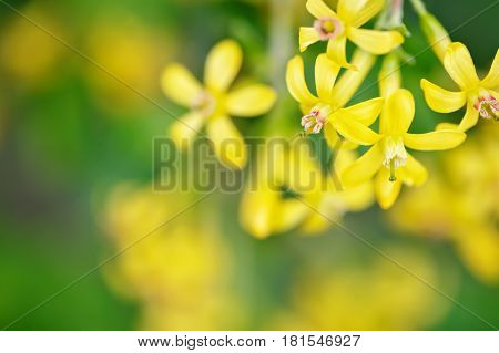 Beautiful yellow flowers of Galphimia glauca. In nature. Macro.