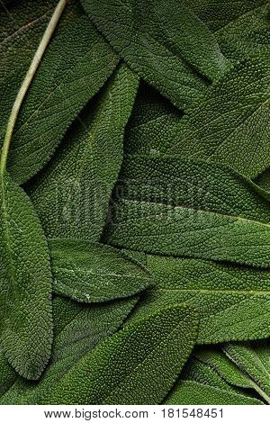 fresh green leaves of sage as background. top view