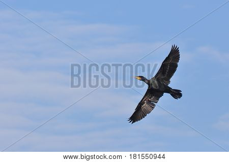 Great Cormorant (Phalacrocorax carbo) in flight against blue sky