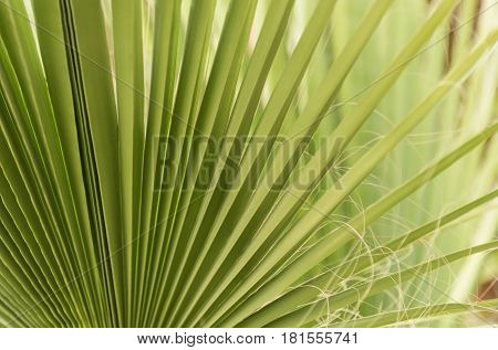 Green fan palm tree leaves foliage texture tropical plant on sunny summer day as natural background