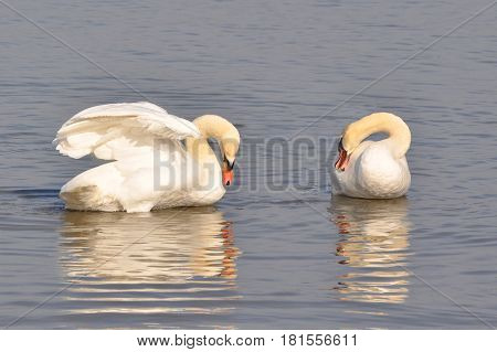 Couple of swans cleans feathers on Danube river in Belgrade, Serbia. Swans with reflection in water