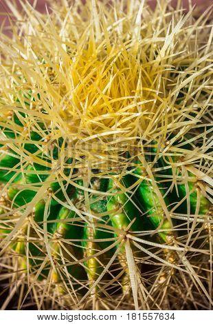 Cactus thorns. Close up thorns of cactus. Cactus Background. Shallow depth of field.
