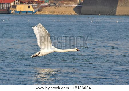 Swan flying low over the river Danube in Belgrade, Serbia , Serbia. Swan with reflection in water