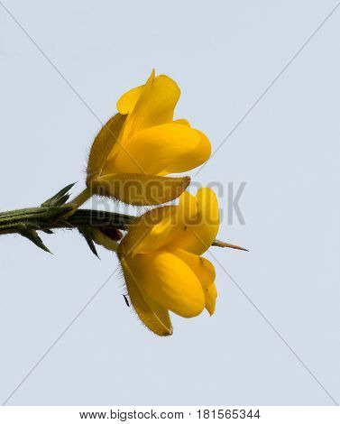 Yellow Gorse flowers against plain blue sky background.