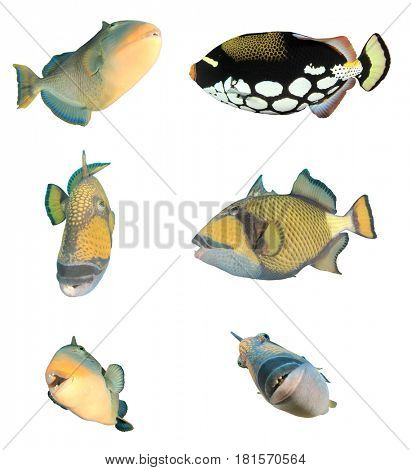 Triggerfish fish isolated on white background. Yellowmargin, Clown and Titan Triggerfishes.