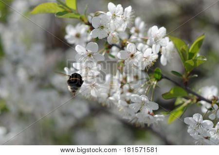 The photo shows a bumblebee in flight. It is harvesting cherry blossoms by collecting nectar. In the background you can see a branch covered with dense white flowers. It is sunny day.