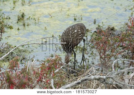 Limpkin with head down foraging for food in water