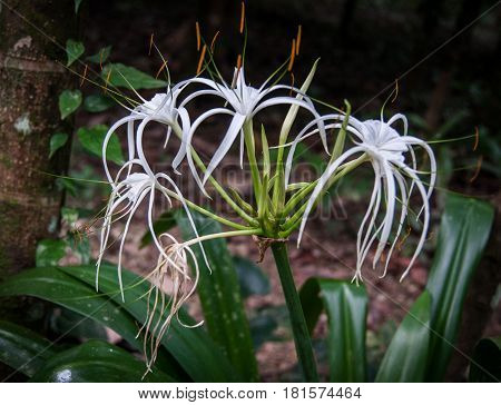 Closeup image of Hymenocallis white flowers with green leaves in the rain forest of Khao Sok sanctuary, Thailand