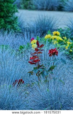 Red rose and grass in the summer garden
