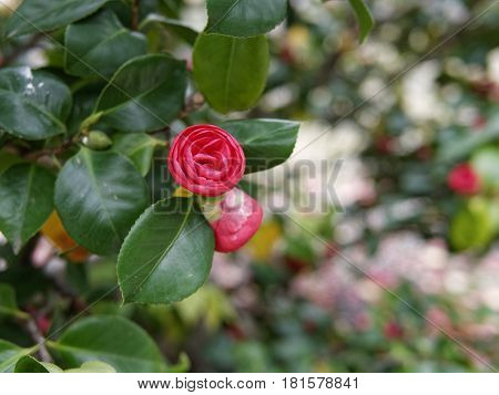 Detail Of Camelia Flower In A Meadow