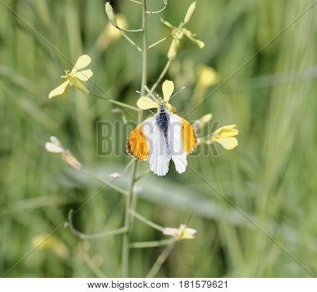 Detail Of Anthocharis Cardamines Butterfly (farfalla Aurora)
