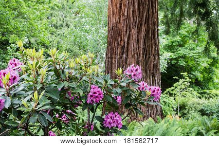 Purple rhododendrons by a redwood tree in a northwest forest