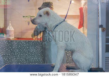 24 Dec 2015 China,Chongqi. vet help taking shower for a Sad white stray street dog