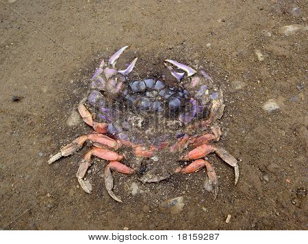 Roadkill Rainbow Colored Crab