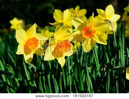 Narcissus on a sunny spring time day