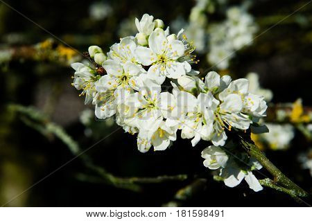 "Rosaceae Prunus Domestica ""Opal"" blossom on a spring time in the garden poster"