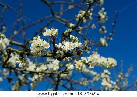Rosaceae Prunus Domestica