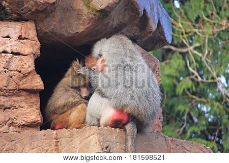 Hamadryas adult Baboon grooming a juvenile monkey