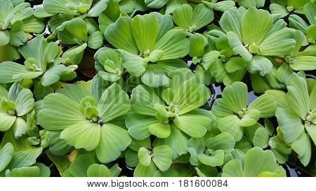 Duckweed, local aqua plants. Usually found in tropical climate.