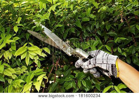 Pruning of the ornamental trees by scissors
