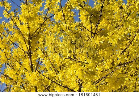 Blooming forsythia bush with golden flowers. Beautifully blooming forsythia in early spring.