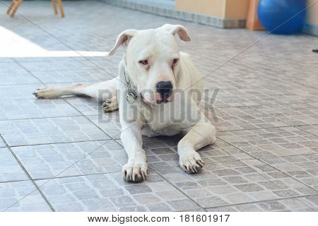White big dog Dogo Argentino Argentine Mastiff