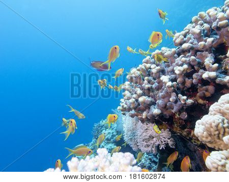 Colorful coral reef with shoal of fishes scalefin anthias in tropical sea underwater