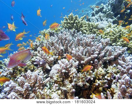 Coral reef with exotic fishes Anthias at the bottom of tropical sea underwater