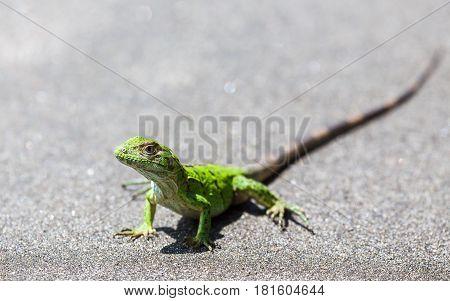 Green Spiny Lizard Basking