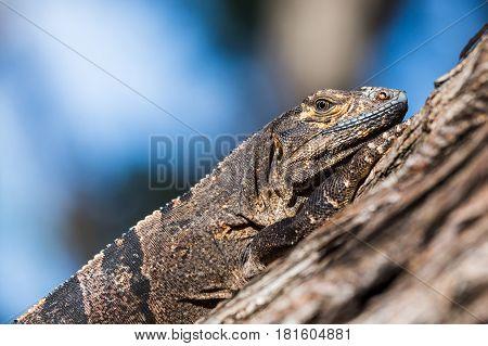Black Iguana Clings Onto A Tree