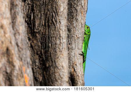 Green Spiny Lizard Holds Onto A Tree