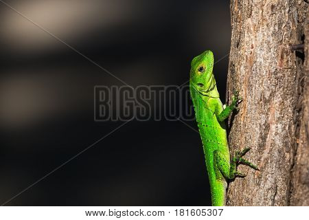 Green Spiny Lizard Clings To A Tree