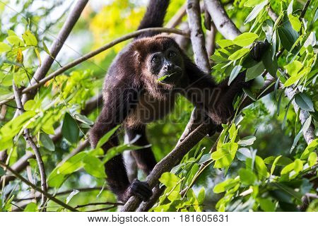 A howler monkey fills the frame as it grips the branches whilst moving through the treetops of a dry forest in Costa Rica.