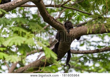 A Howler Monkey Relaxes After A Big Feed.